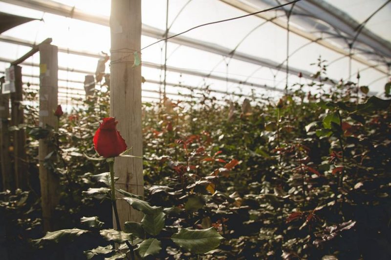 fair trade rose farm visit - rose